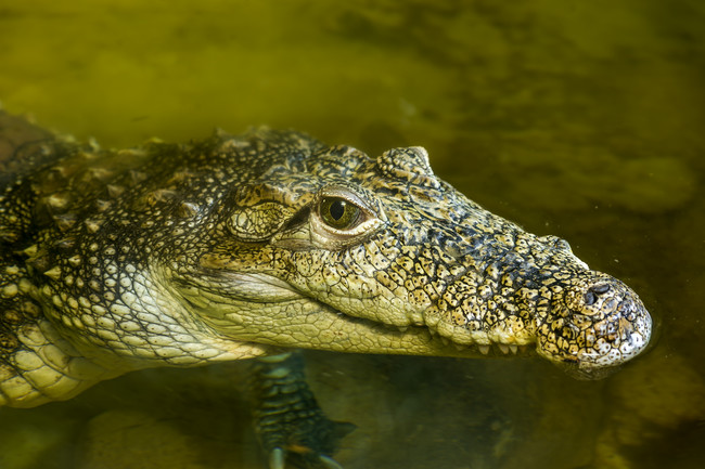 Crocodiles don't age.
