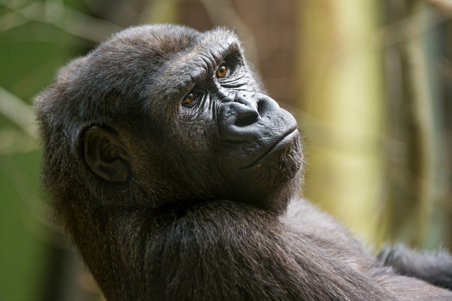 Gorillas can catch human colds and other illnesses.