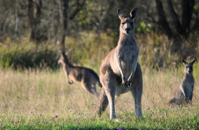 Female kangaroos have 3 vaginas.