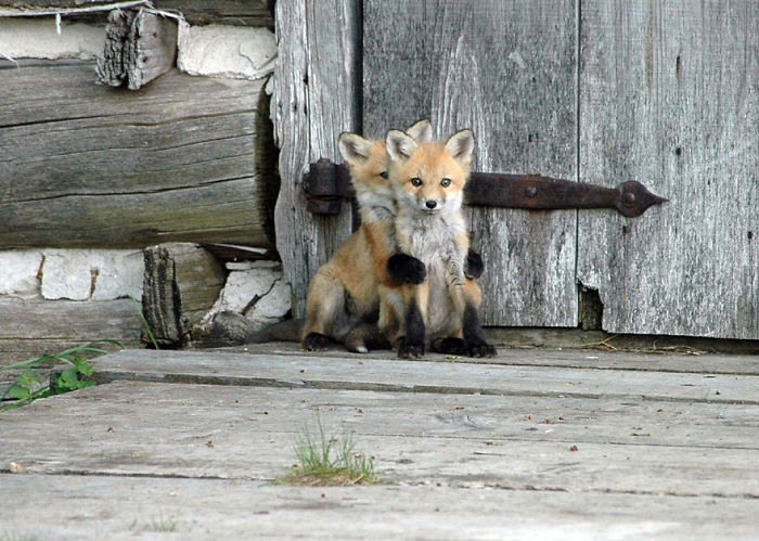 Baby Foxes Cottage Life