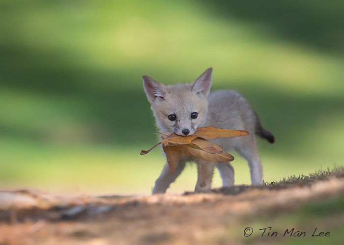 Kit Fox Pup