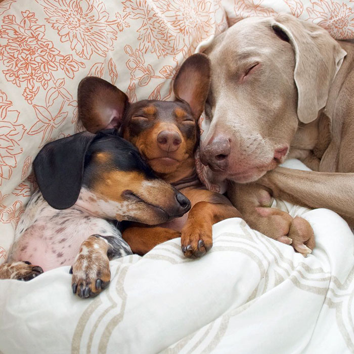 cute-dogs-sleep-together-best-friends-harlow-sage-indiana-reese-20