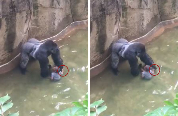 gorilla-shot-after-boy-fall-zoo-enclosure-cincinnati-harambe-16