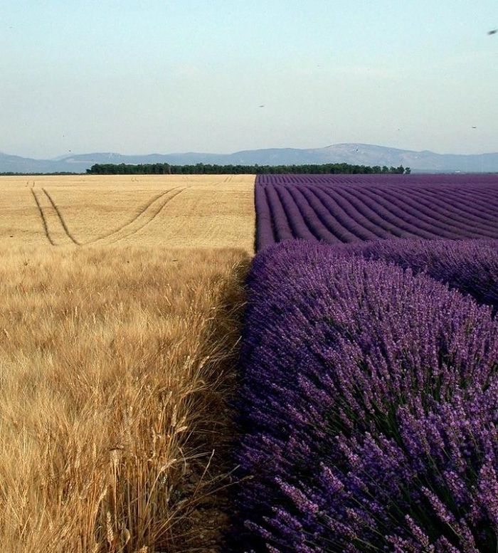 Wheat Field Next To A Lavender Field